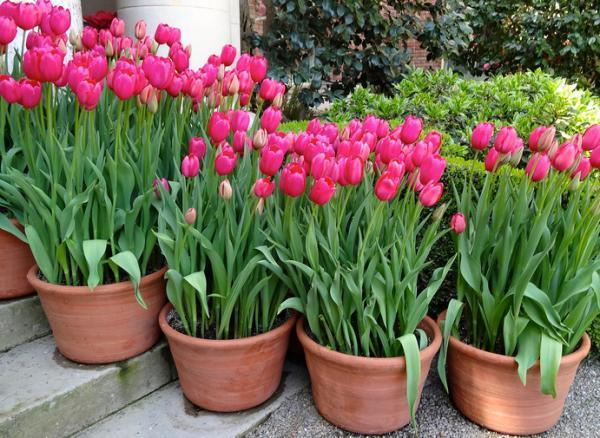 Outdoor potted plants - The tulip