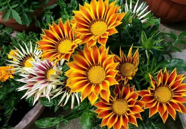 Outdoor potted plants - La gazania