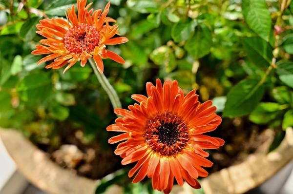 Outdoor potted plants - The gerbera