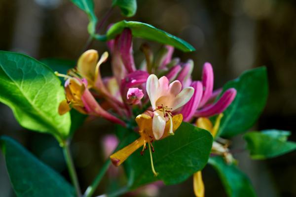 Potted outdoor plants - Honeysuckle