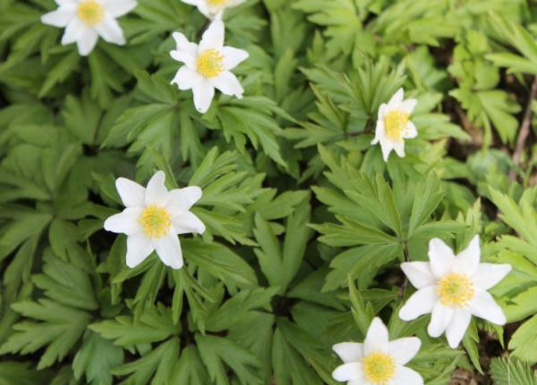 Wildflowers: names and photos - Anemone ranunculoides or anemone