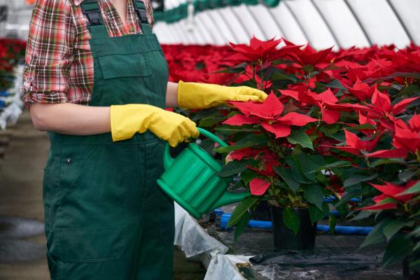 Watering the poinsettia: how often and how to do it - How to water the poinsettia