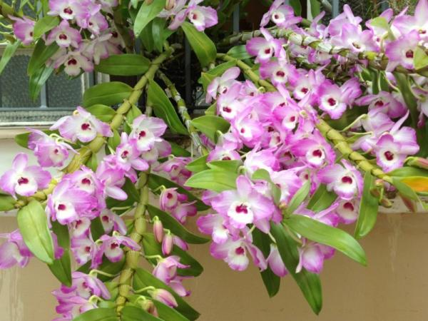 12 types of orchids - Dendrobium Orchid