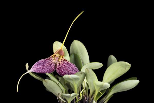 12 types of orchids - Masdevallia Orchid