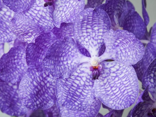 12 types of orchids - Vanda Orchid