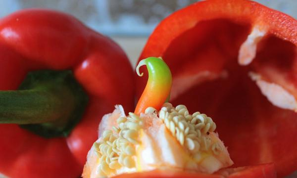 How to Plant Peppers - When to Plant or Sow Peppers - Ideal Season