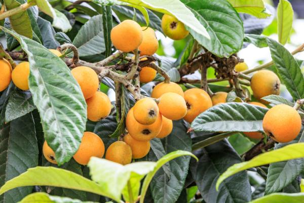 Medlar tree: care - Temperature, humidity and soil