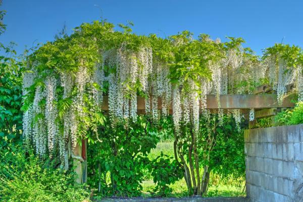 Wisteria or wisteria: characteristics and care - Trained