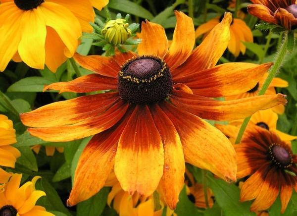 Types of daisies - Rudbeckia (Rudbeckia hirta)