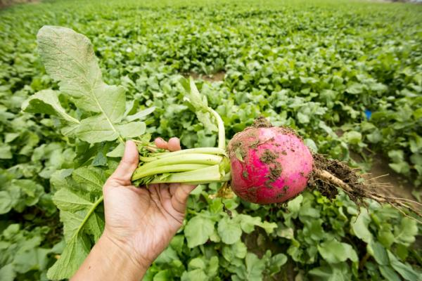 Radishes: How To Sow And Grow - When To Harvest Radishes