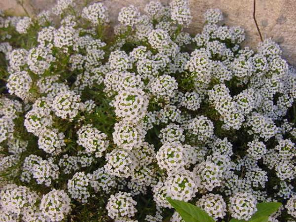 Maritime lobularia care - Pruning and other care