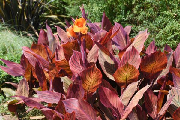 Plants with colored leaves - Canna indica or Caña de Indias