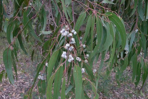 Types of Eucalyptus - Eucalyptus globulus
