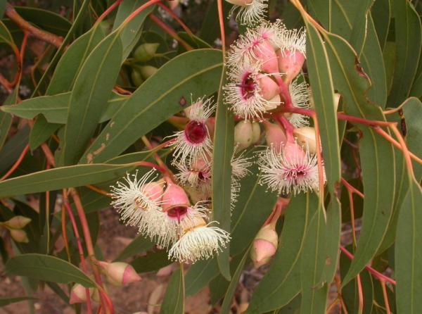 Types of Eucalyptus - Eucalyptus leucoxylon