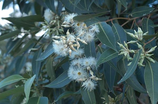 Types of Eucalyptus - Eucalyptus robusta