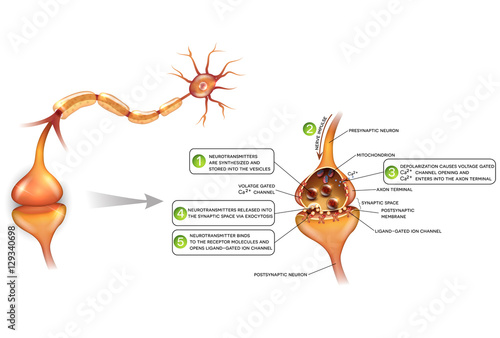detailed neuron diagram sbc wiring neurons and closeup of synapse anatomy beautiful colorful illustration passes signal to