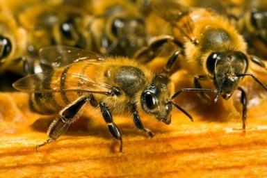 Abeille_437183545 النوم مع النحل يساعد على العلاج وتخفيف الآلام المزيد