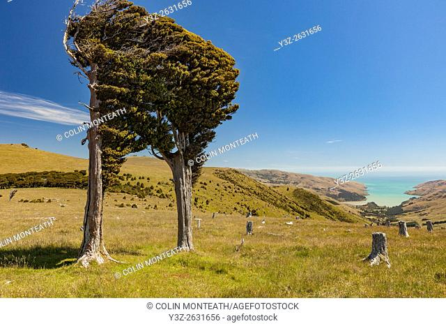 Tolerant of a range of temperatures, it grows as far south as spain and as far north as lapland. Totara Tree Stock Photos And Images Agefotostock