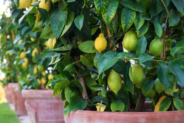Lemon tree care - Climate for the lemon tree