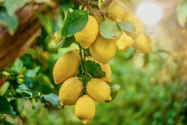 Lemon tree care - Soil and fertilizer for the lemon tree