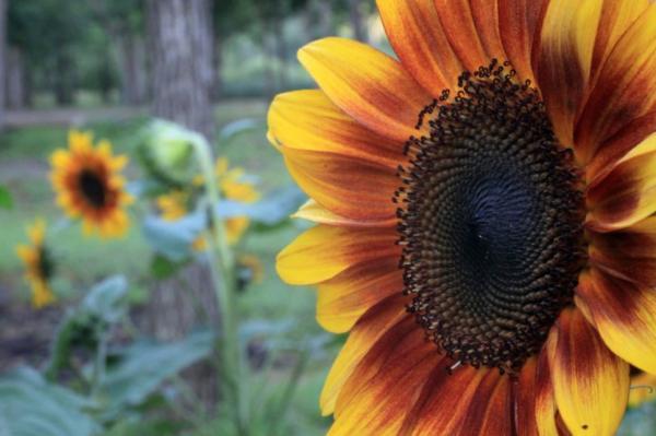 Types of Sunflowers - Music Box