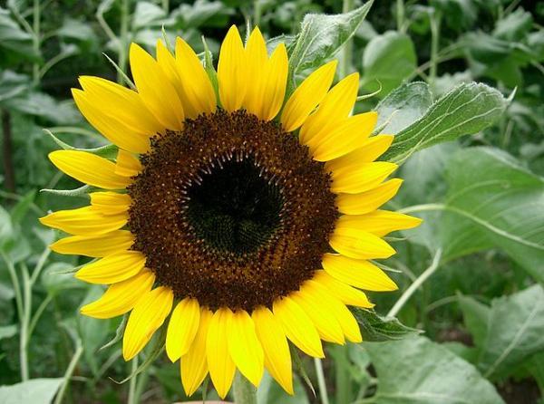 Types of sunflowers - Sunspot