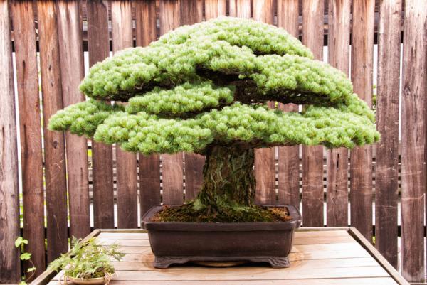 19 types of bonsai - Bonsai Komono