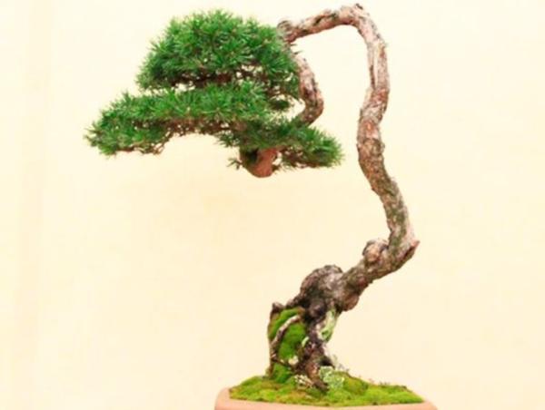 19 types of bonsai - Bunjin or bunjingi