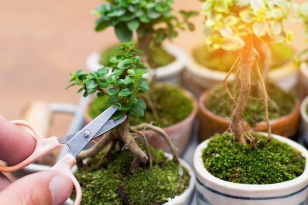 19 types of bonsai - Mame and Shito, the smallest types of bonsai