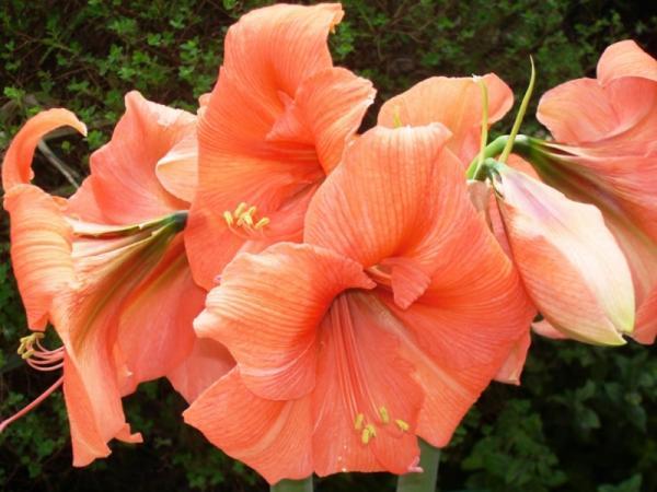 Amaryllis or amaryllis plant: care - Caring for the amaryllis or amarullis plant