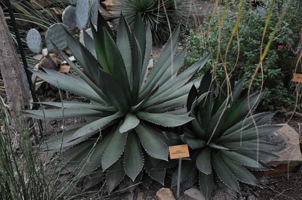 Succulent Plant Types - Main Types of Succulent Plants