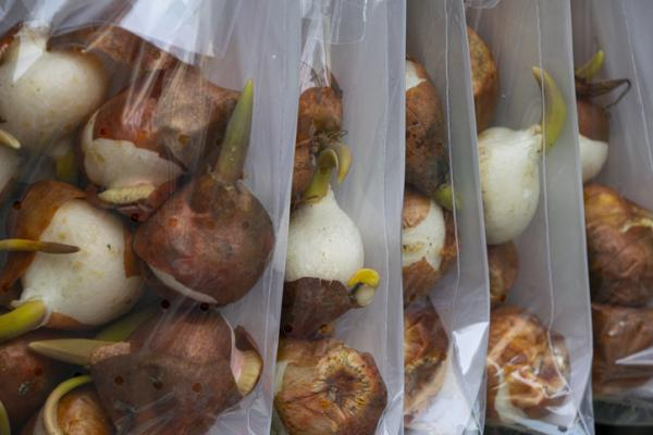 How to Preserve Tulip Bulbs - Preserving Tulip Bulbs: Common Hazards and Mistakes