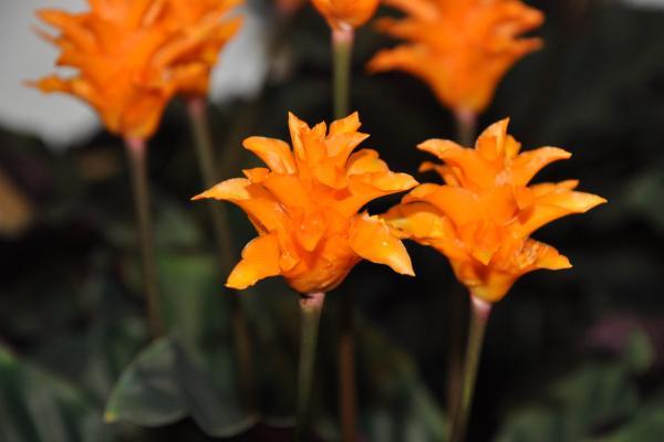 9 orange flowers - Calateas