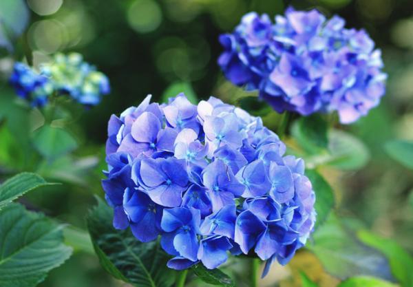 +15 autumn plants for the garden - Hydrangeas: some well-known autumn plants for the garden