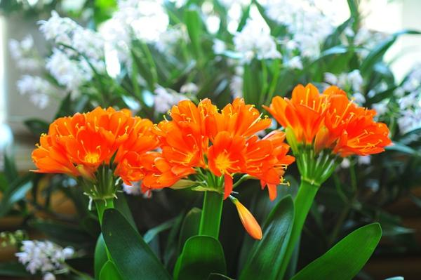 Outdoor plants resistant to cold and heat - Clivia or Clivia Miniata