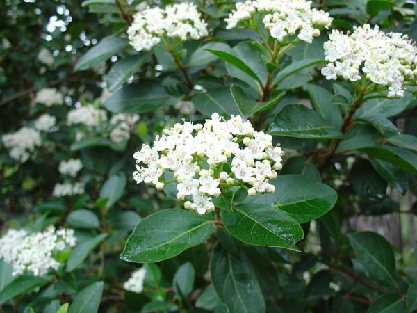 Outdoor plants resistant to cold and heat - Durillo or Viburnum tinus