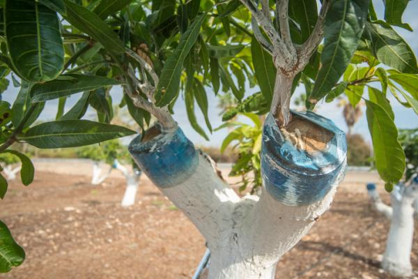 How to do grafting of fruit trees - What is a graft in gardening, horticulture and agriculture