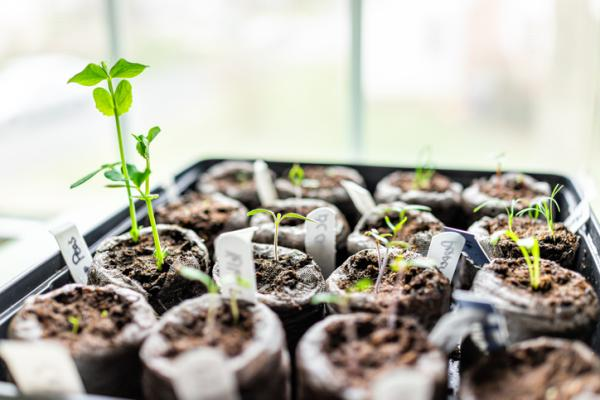 How To Plant Peas - How To Plant Potted Peas