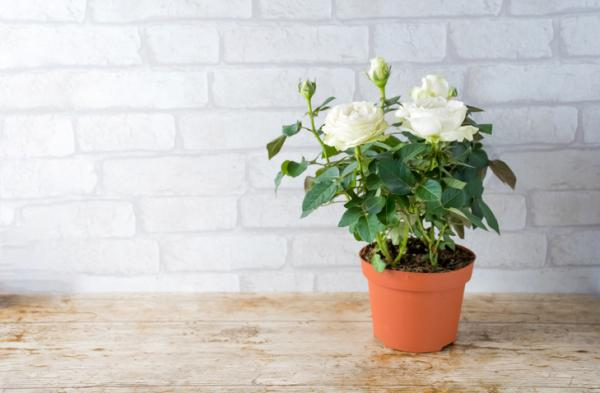 How to care for a potted rose bush - Compost for potted rose bushes