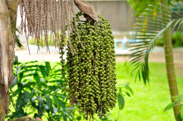 Types of palm trees - Caryota urens
