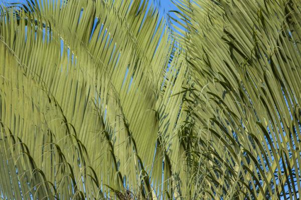 Types of palm trees - Dypsis decaryi