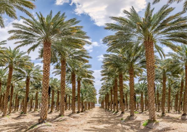 Types of palm trees - Phoenix dactylifera