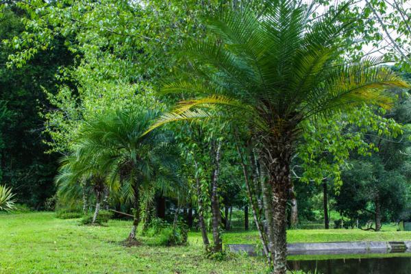 Types of palm trees - Phoenix roebelenii