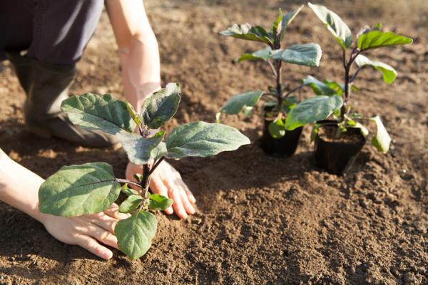 How to Plant Eggplants - How to Plant Eggplants in the Garden