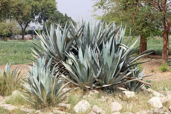 Plants with thorns - Agave americana