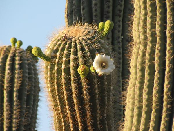 Plants with thorns - Carnegiea gigantea