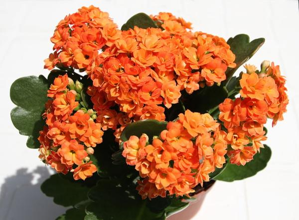 Kalanchoe plant: care and what it is for - Kalanchoe blossfeldiana: care