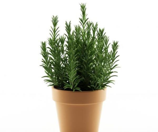 How To Plant Rosemary - How To Plant Rosemary In Pot Step By Step