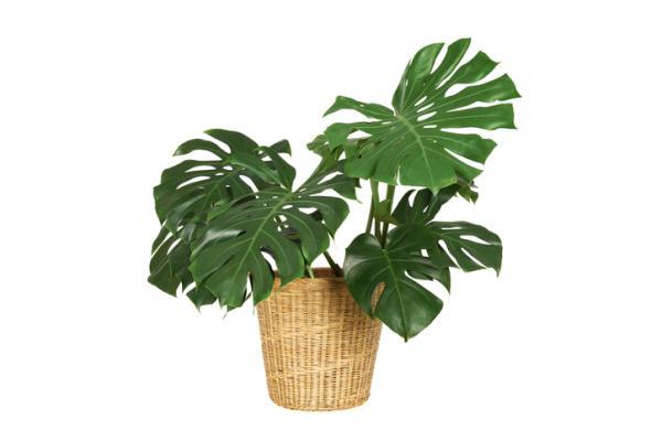 Indoor Green Plants - Adam's Rib