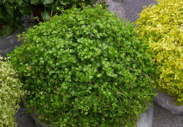 16 small plants - Soleirolia